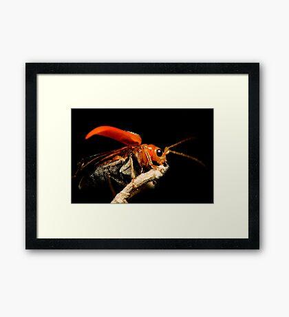 Orange Beetle Framed Print