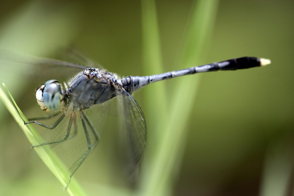 blue dragonfly by phchristophe