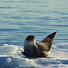 Happy Seal by Robin Hayward