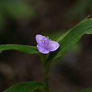Spiderwort II by Gary L   Suddath