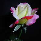 Rose by Annmarie *