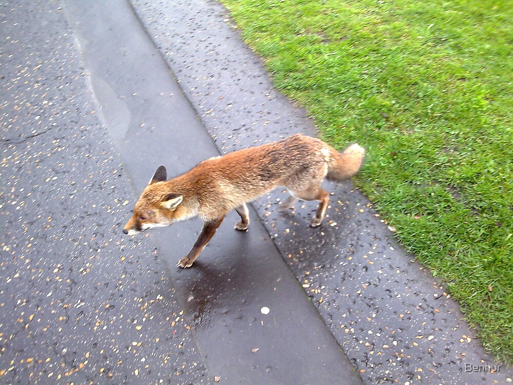 Wild Fox rare to see during daytime in London by Benhur