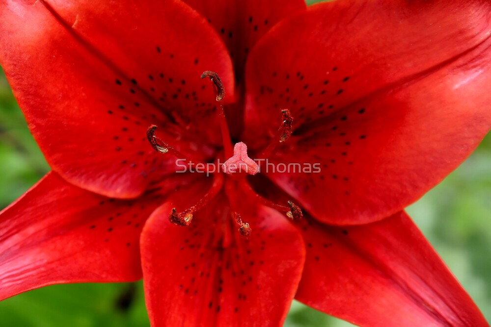 Bright red lily by Stephen Thomas