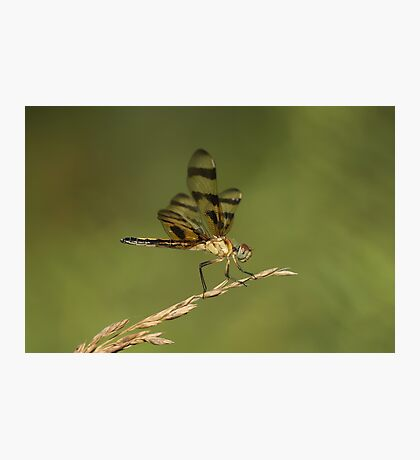 Another Dragonfly Photographic Print