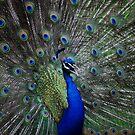 Courting Peacock by Ursula Tillmann