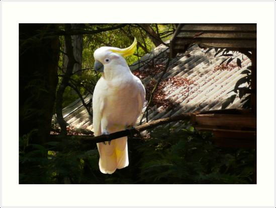 Sulphur Crested Cockatoo, Warburton by Roz McQuillan