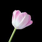 Pink Tulip by hurmerinta