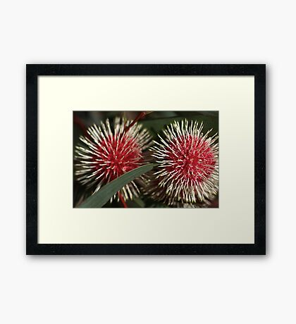 Pincushion Hakea, Framed Print