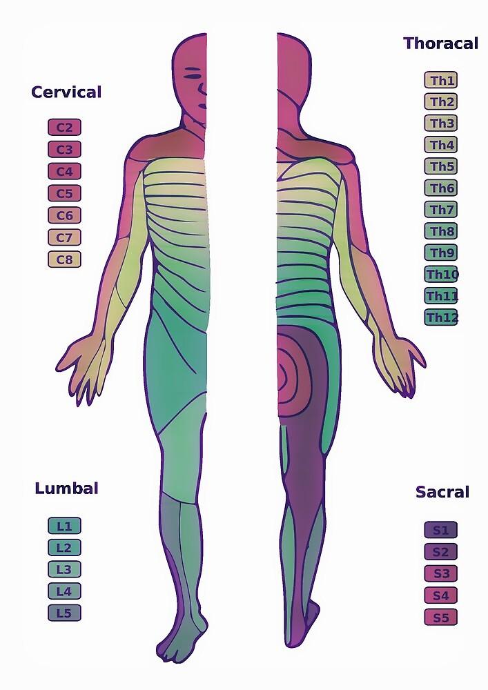 Dermatom, Figur, Anatomie, Wissenschaft, Farben, Nerven, Wirbelsäule ...