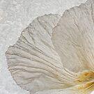Tree Poppy by Ann Garrett