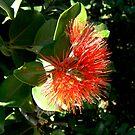 Red, New Zealand Christmas Bush by Virginia McGowan