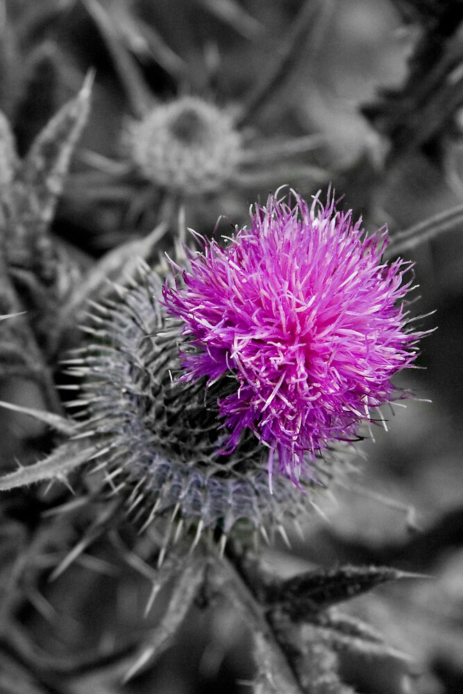 Scottish Thistle by Chris Clark