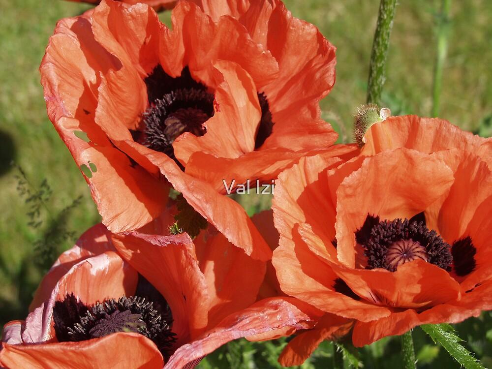 Poppy flower poster by valizi