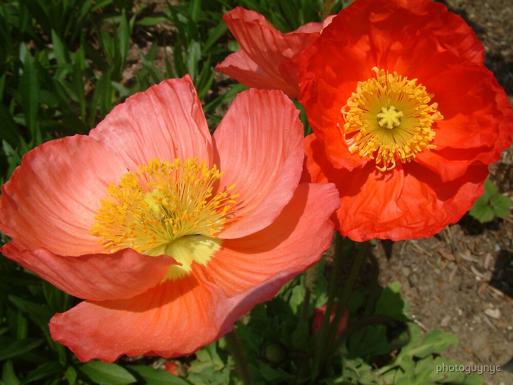 Poppies by photoguynyc