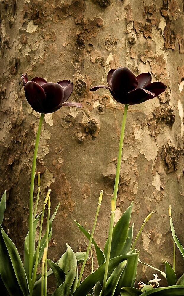 Black tulips by Filiz A