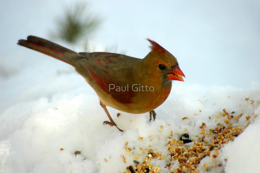 Winter Female Cardinal by Paul Gitto