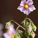 Potato Blossoms 2 by Stephen Thomas