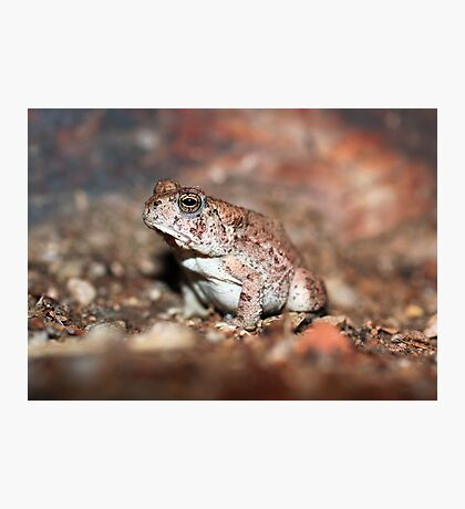 Red-spotted Toad Photographic Print