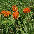 Butterfly Weed  by Gary L   Suddath
