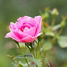 Pink Rose Bush by daphsam