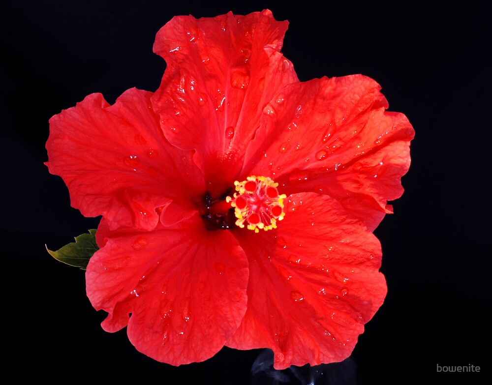 """""""Red Hibiscus"""" by bowenite"""