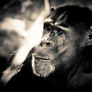 Chimpanzee by Mark Moskvitch