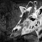 Giraffe I by Mark Moskvitch