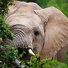 African Elephant by Viv van der Holst