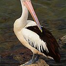 I am Pelican too by Peter Krause
