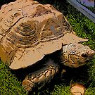 Turtle in the grass 2 by steelwidow