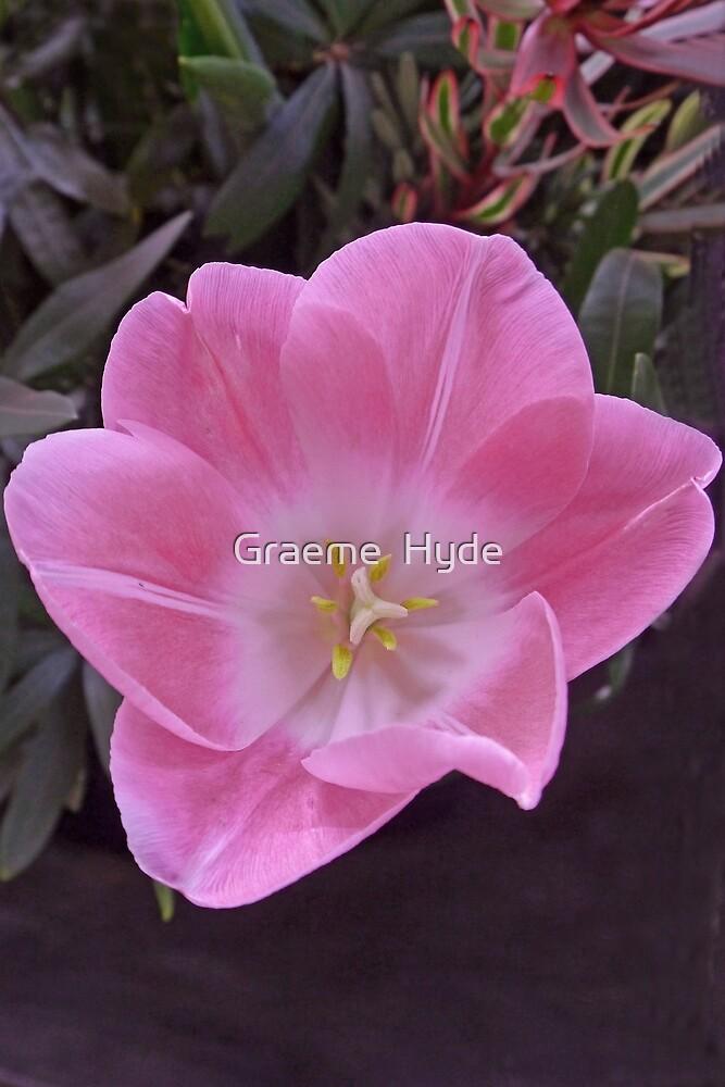 Pink Tulip by Graeme  Hyde