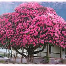 Pink  Rhododendron in Warragul, Gippsland by Bev Pascoe