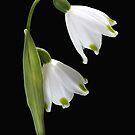 Beautiful Snowdrops Spring Flowers by Joy Watson