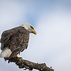 Bald Eagle 2017-4 by Thomas Young