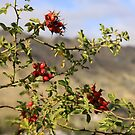 Rosehips by coffeebean