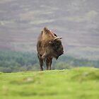 European Bison by Dorothy Thomson