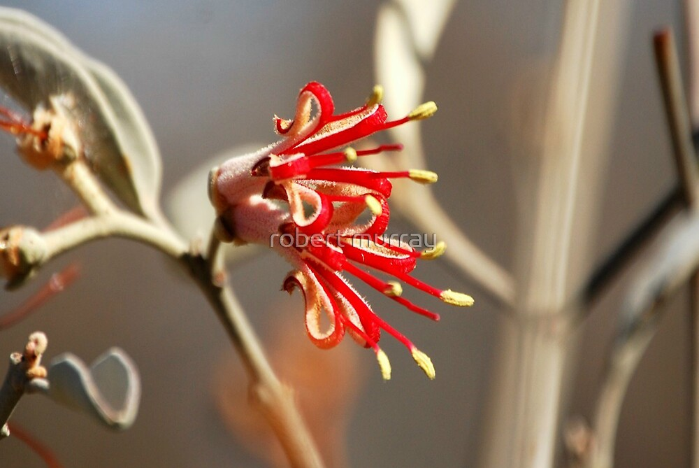 Mistletoe from Mt Magnet by robert murray