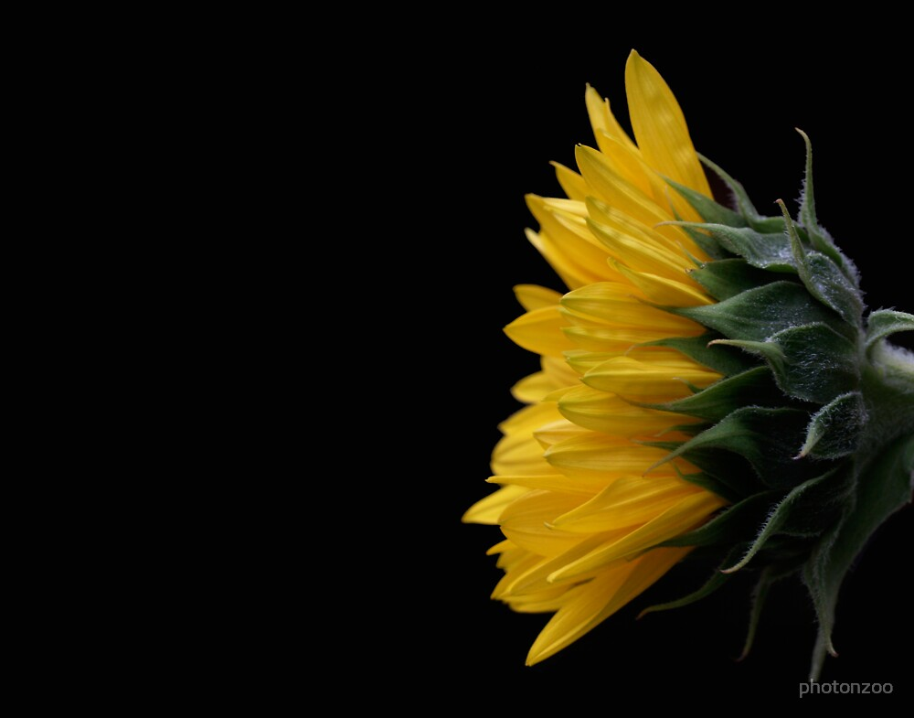 Sunflower by photonzoo
