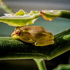 Red-eyed Frog by Zina Stromberg