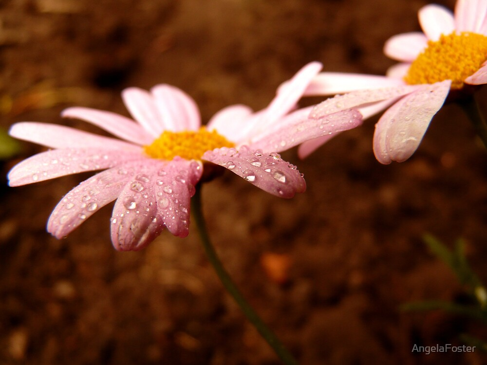 pink daisies by AngelaFoster