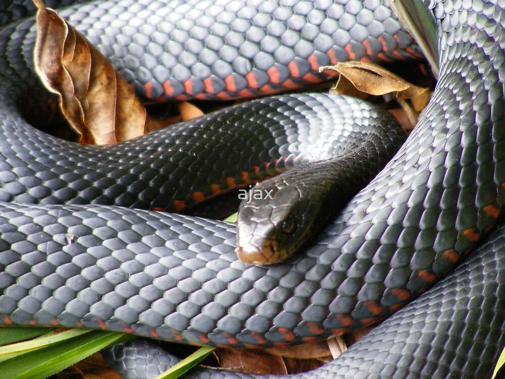 red belly black snake 3 by ajax