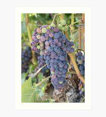 Future Wine - Okanagan Grapes on the Vine Art Print