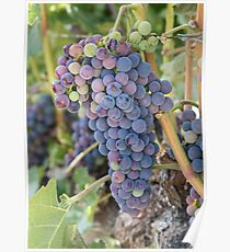 Future Wine - Okanagan Grapes on the Vine Poster