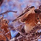 Kestrels in Etosha by Wild at Heart Namibia