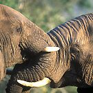 Elefriends by Wild at Heart Namibia