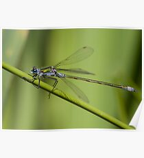Lestes sponsa (male) Damselfly Poster