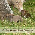 Small Beginnings - Damara Lambs by Patricia Howitt