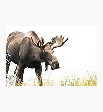 Young Bull Photographic Print