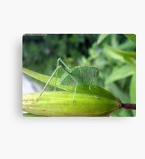 Green Bug On A Pod Canvas Print
