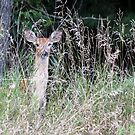 White-tailed Fawn 2017-2 by Thomas Young